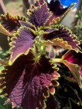 Horticulture Monica Taylor coleus wicked witch