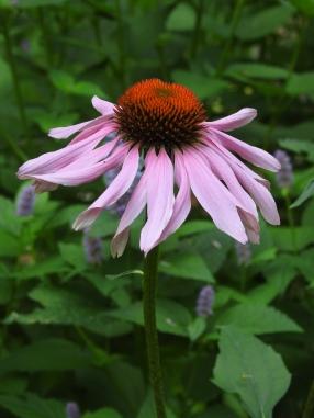 HorticulturePat Bazany Echinacea purpurea6