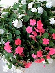 Containers Monica Taylor Impatiens