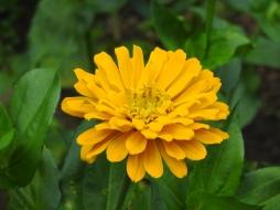 Horticulture Pat Bazany Zinnia orange