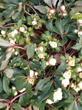 Hellebores in March_Cathy