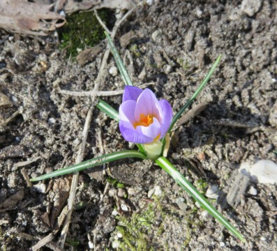 Crocus in March_Terri