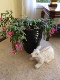Jan's Christmas cactus blooming for Easter